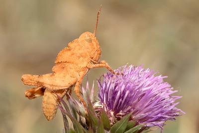 Grasshoppers, Crickets, & Katydids (Orthoptera)