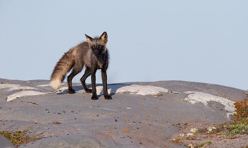 Cross Fox, Churchill, Canada, June 2014