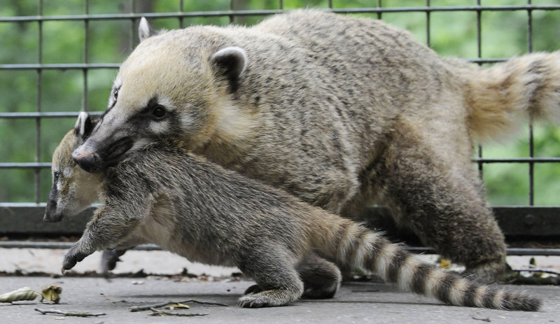 Description of . A baby coatis is carried by its mother in their enclosure at the zoo in the northern German city of Hanover. The young coatis are also known as the hog-nosed coons. (NIGEL TREBLIN/AFP/Getty Images)