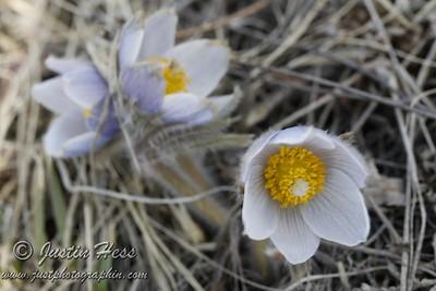 Pasque Flowers 4-25-2013