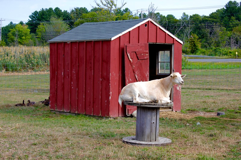 goat on a platform at Colby Farm sunflower field