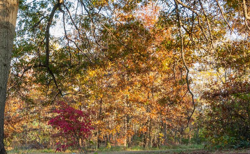 Fall colors -- oak and a fire bush.