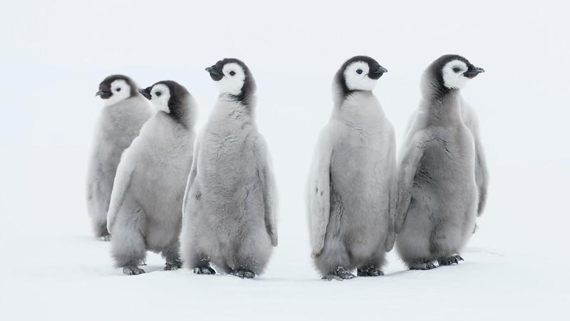Emperor Chicks 3, Gould Bay, Antarctica