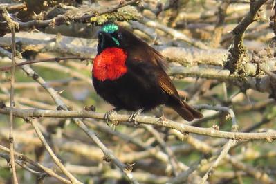 Sunbirds (Nectariniidae)