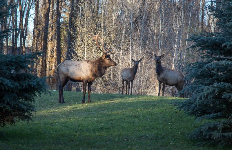 Elk (1 of 1)-3.jpg