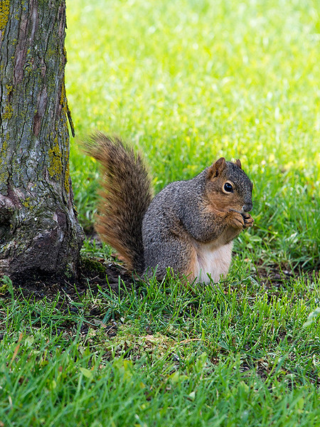 clip-015-squirrel-wdsm-22may17-09x12-001-9218