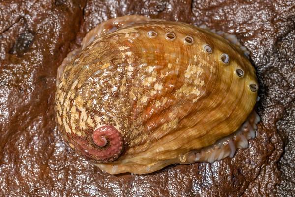 Pāua (Haliotidae)
