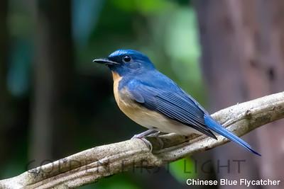 Chinese Blue-Flycatcher, Baan Maka Neung Hide, Thailand