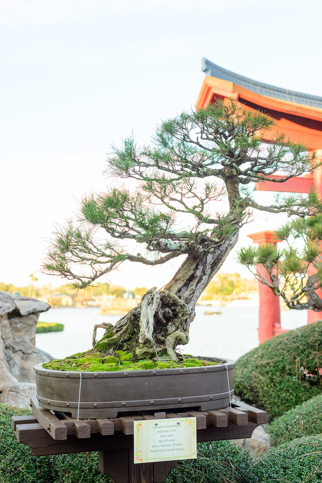 Bonsai Tree - Epcot Flower & Garden Festival 2016