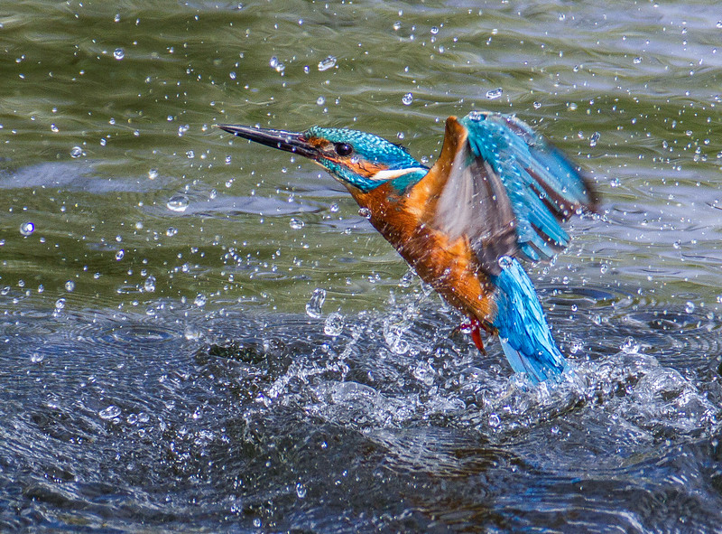 Annie Nash dipping kingfisher.jpg