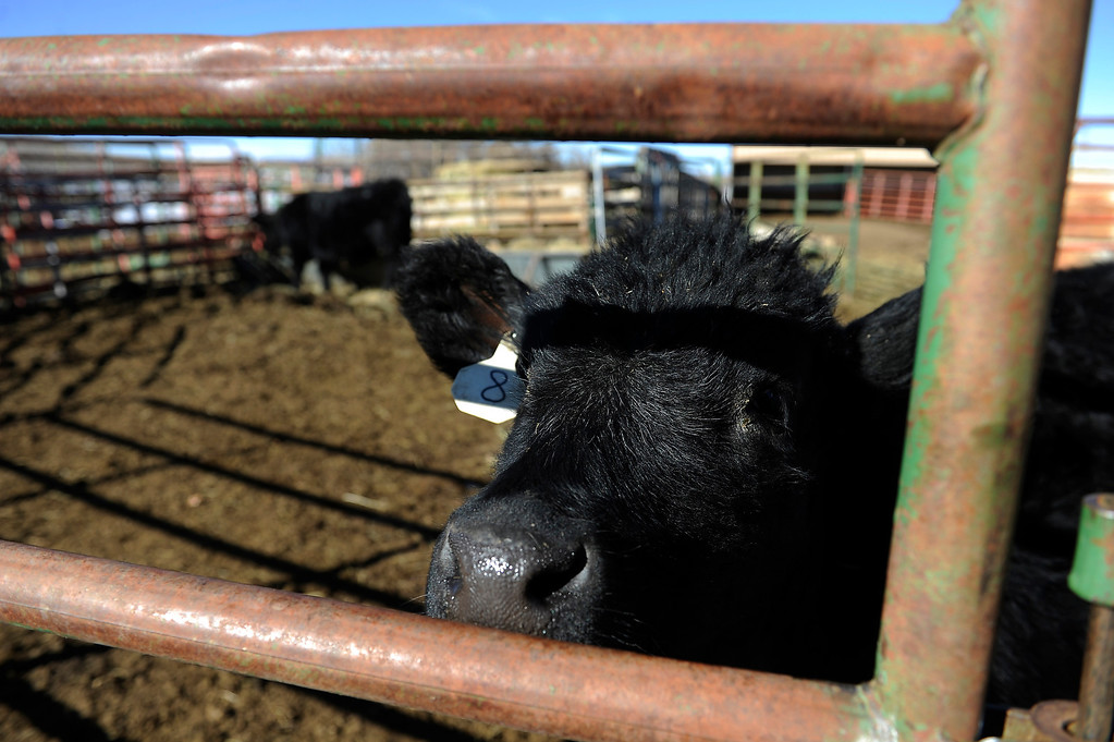 . CASTLE ROCK, CO - JANUARY 17: A calf peers through the fence at Rochelle Quinn\' home in Castle Rock, Colorado on January 17, 2014. Quinn will be showing her animals during the National Western Stock Show this weekend in Denver. (Photo by Seth McConnell/The Denver Post)