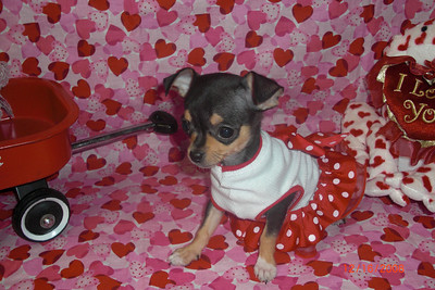 2012 Chihuahuas Sold