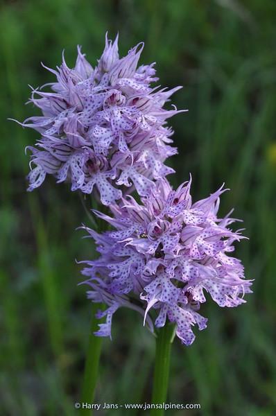 Neotinea (Orchis) tridentata