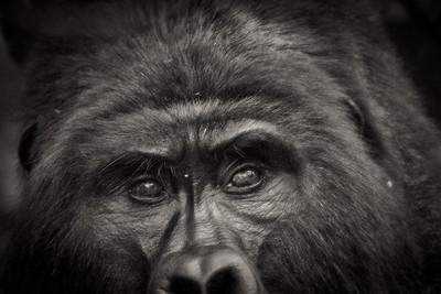 Gorillas at Bwindi N.P. (UG)