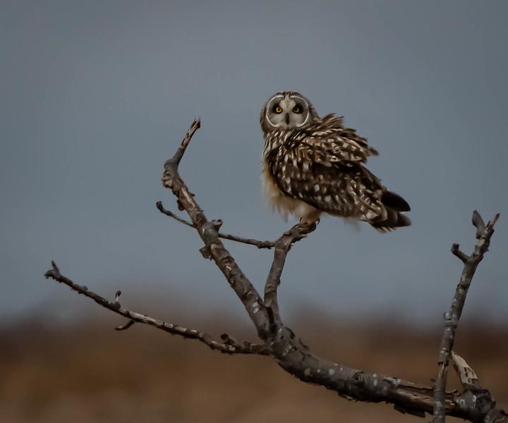 Short-eared Owl fluff on a Perch