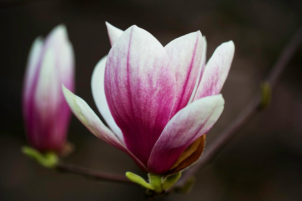 玉兰花,树尖上的芭蕾
