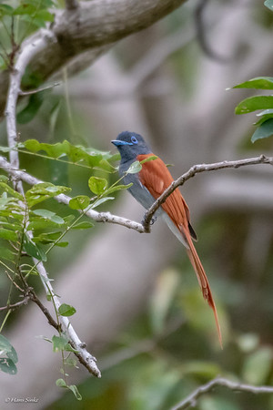 Paradise-flycatcher, African (spp. plumbeiceps)