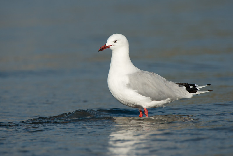 Red-billed Gull, Miranda, NI, NZ, March 2015.jpg