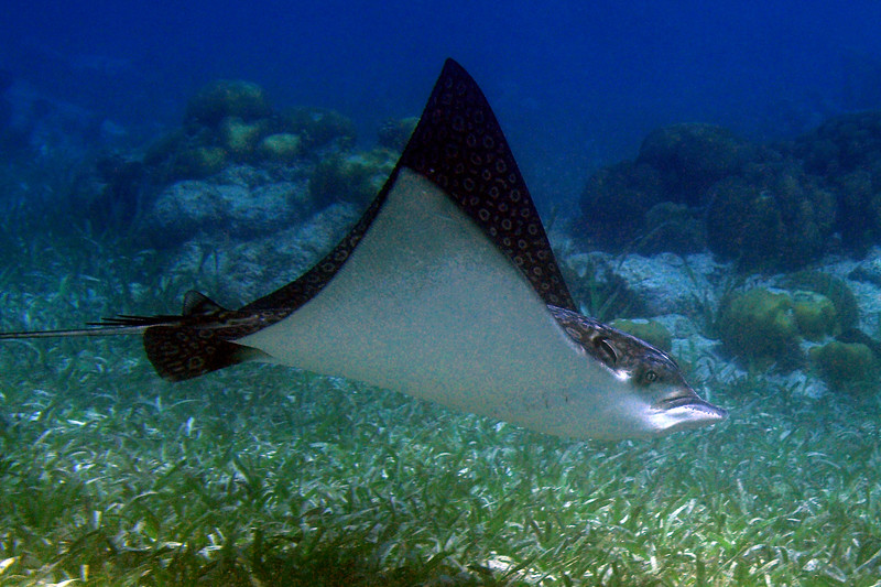 Spotted Eagle Ray<br /> BVI