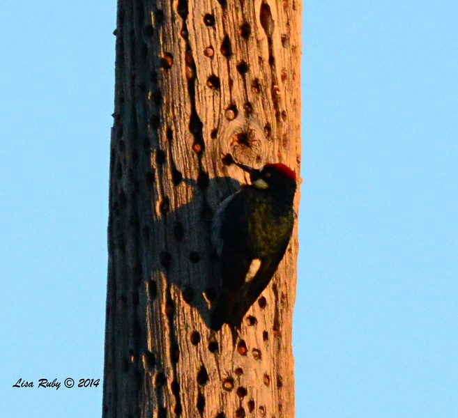 Acorn Woodpecker - 12/29/2014 - across street from Julian Cemetery