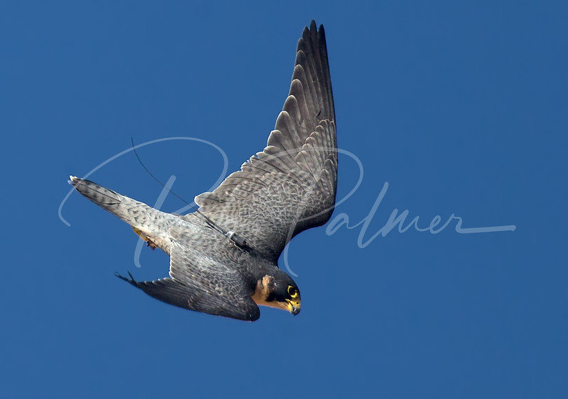 Peregrine Falcon diving