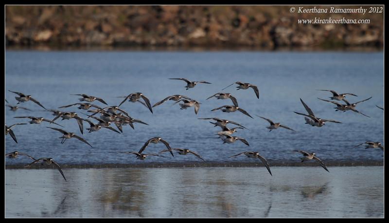 Black-bellied Plovers landing, Robb Field, San Diego River, San Diego County, California, February 2012