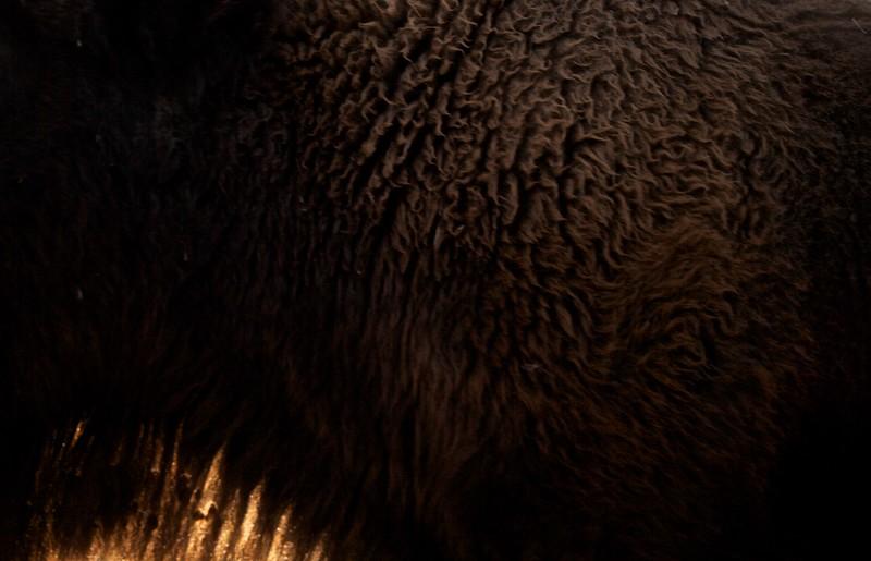 Bison fur hair detail Yellowstone N.P. WY IMG_0067613.jpg