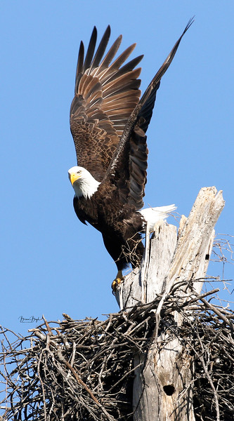 Bald Eagles of Waco