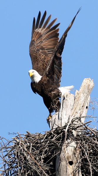 Bald Eagles of Waco