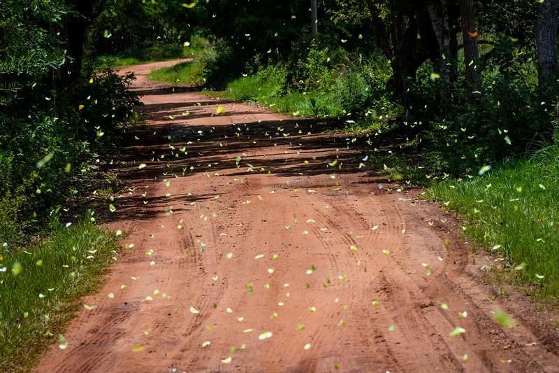 Cloudless Sulfur Butterflies.jpg