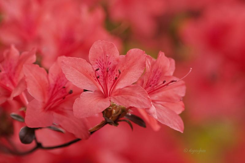 Flowers_Azalea-Coral_2227.jpg