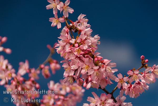 Okame Flowering Cherry (Prunus 'Okame')
