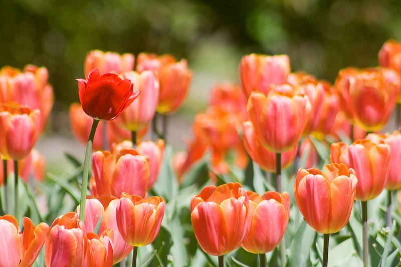 More tulips in Memorial park