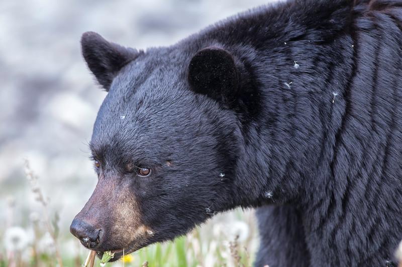 Black Bear 1 Maligne Lake June 2019.jpg