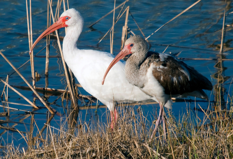 An adult and a juvenile white ibis in the Willow Waterhole, Houston