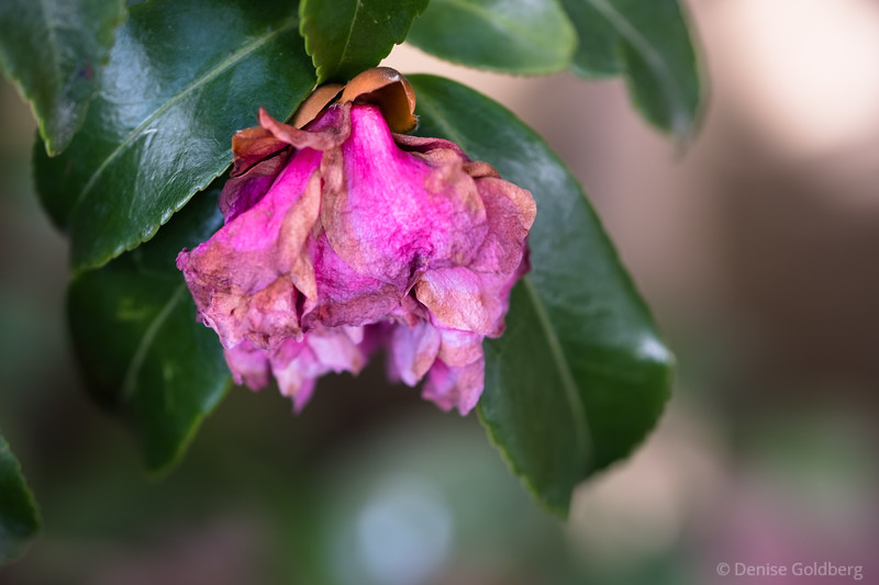 a wilted camellia