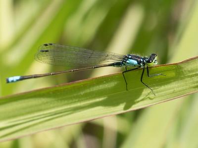 Dragonflies  2014-06-01