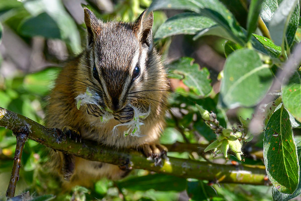8-9-19 Least Chipmunks
