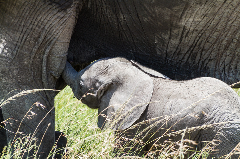 A baby African Bush Elephany nurses from its mother.
