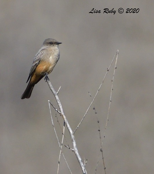 Say's Phoebe  - 1/4/2020 - Lake Hodges Bernardo Bay Trail, CBC