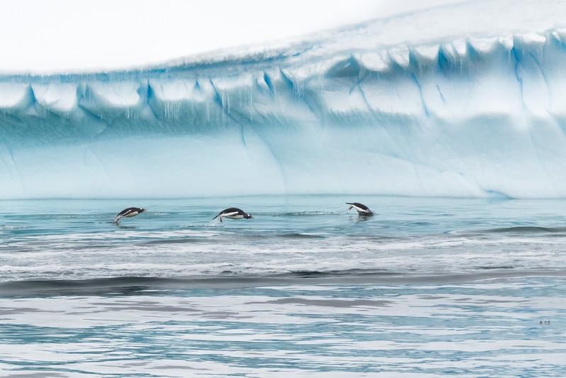 3 Penguins Porpousing-0468.jpg