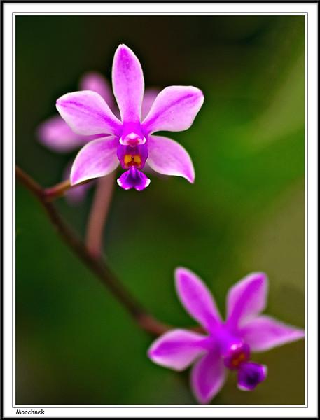 2orchids.jpg