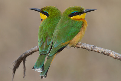 Bee eaters & Rollers