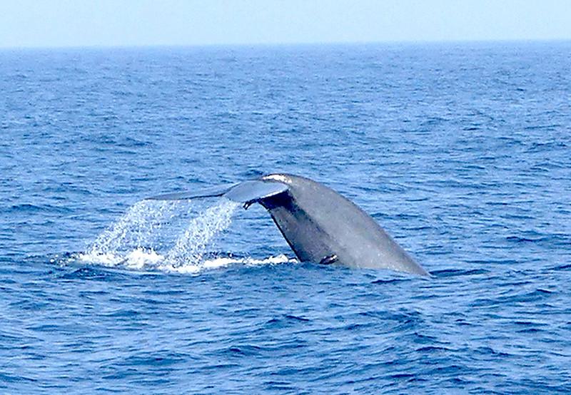 Blue Whale-Mirissa20160123_033.jpg
