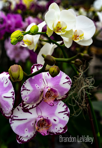 ORCHIDS (1 of 1).jpg