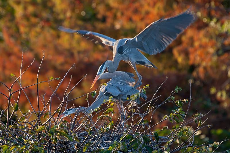 great blue heron foreplay.jpg