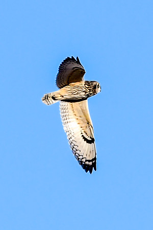 1-28-19 Short-eared Owls - Flying