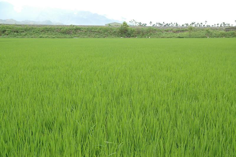 玉里以南便是富里、池上、關山等地,台灣好米的故鄉