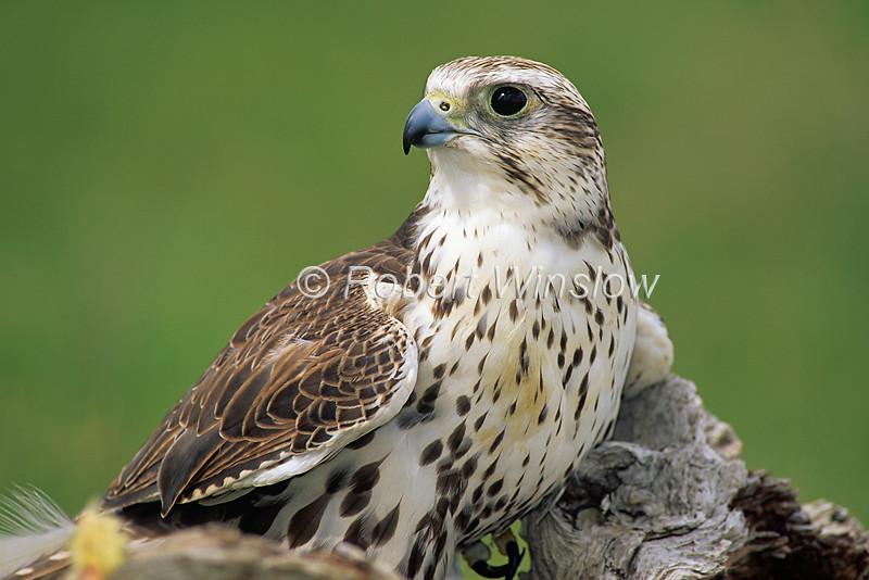 Saker Falcon, Falco cherrug, Controlled Conditions