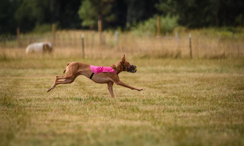 pharoahhound-14.jpg